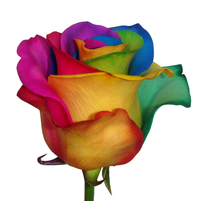 Multi-colored roses